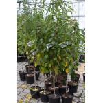 Sauerkirsche (Prunus cerasus) SAFIR®
