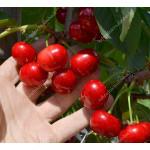 Sweet Cherry x Sour Cherry hybrid XENIA®