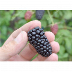 Blackberry (Rubus fruticosus) BLACK BUTTE