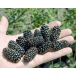 Brombeere (Rubus fruticosus) BLACK BUTTE