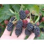 Černica (Rubus fruticosus) Čačanska bestrna