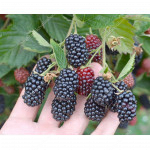 Brombeere (Rubus fruticosus) Cacanska Bestrna
