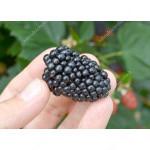 Brombeere (Rubus fruticosus) LOCH NESS