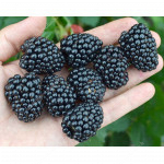 Blackberry (Rubus fruticosus) LOCH TAY®