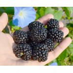 Blackberry (Rubus fruticosus) POLAR®