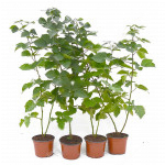 Brombeere (Rubus Eubatus) REUBEN®