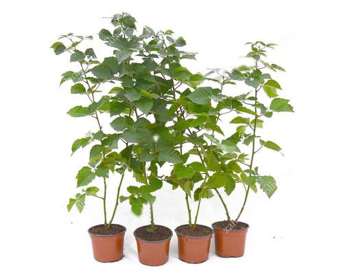 Blackberry (Rubus fruticosus) ADRIENNE