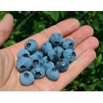 Blueberry (Vaccinium corymbosum) BLUECROP