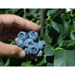 Heidelbeere (Vaccinium corymbosum) DENISE BLUE