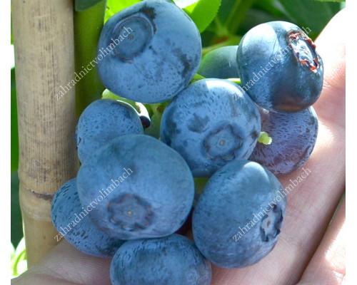 Heidelbeere (Vaccinium corymbosum) NELSON