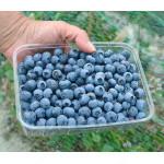 Blueberry (Vaccinium corymbosum) PATRIOT