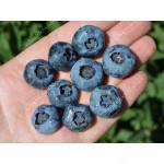 Blueberry (Vaccinium corymbosum) REKA®