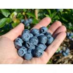 Blueberry (Vaccinium corymbosum) SPARTAN