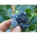 Heidelbeere (Vaccinium corymbosum) TORO
