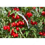 Cornelian Cherry Dogwood (Cornus mas) BOLESTRASZYCKI®