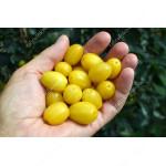 Cornelian Cherry Dogwood (Cornus mas) YANTARNY