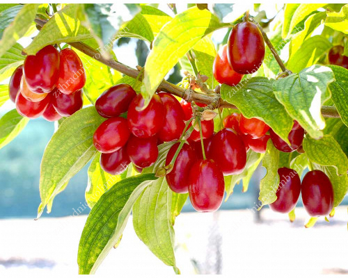 Cornelian Cherry Dogwood (Cornus mas) KORALLOVY