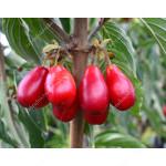 Cornelian Cherry Dogwood (Cornus mas) SVETLYACHOK