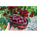 Cornelian Cherry Dogwood (Cornus mas) VLADIMIRSKY