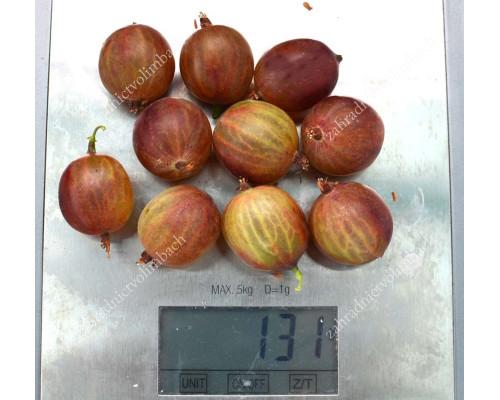 Stachelbeere (Grossularia uva-crispa) CAPTIVATOR (Strauch)