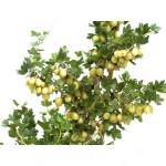 Egreš (Grossularia uva-crispa) INVICTA (krík)