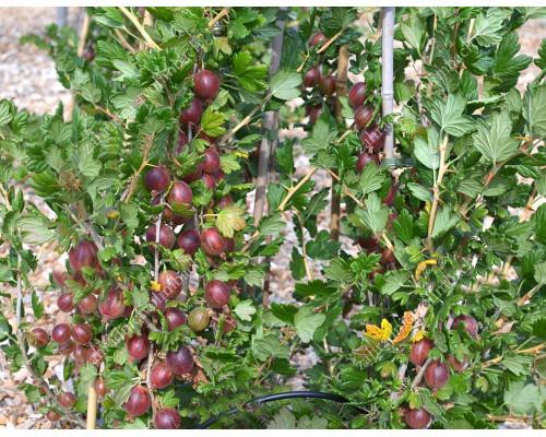 Egreš (Grossularia uva-crispa) KRASNOSLAVJANSKIJ (stromček)