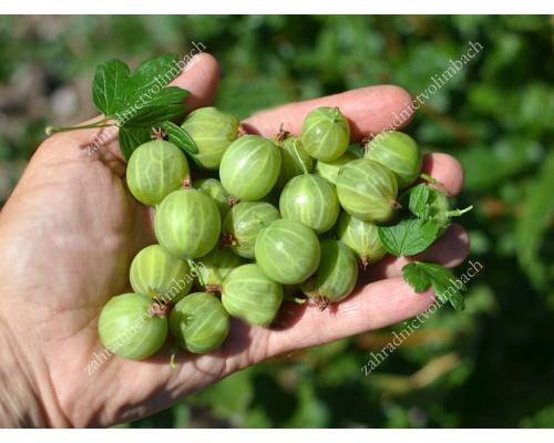 Egreš (Grossularia uva-crispa) MUCURINES (krík)