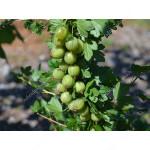 Stachelbeere (Grossularia uva-crispa) RODNIK (Stamm)