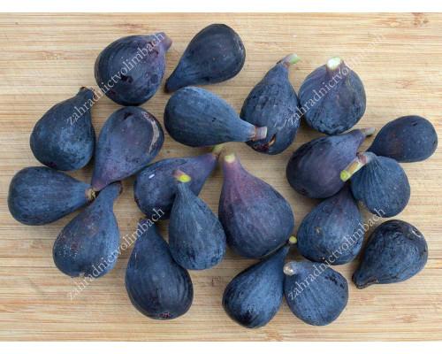 Fig Tree (Ficus carica) ABICOU