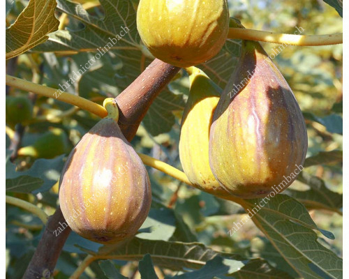 Fig Tree (Ficus carica) BROWN TURKEY