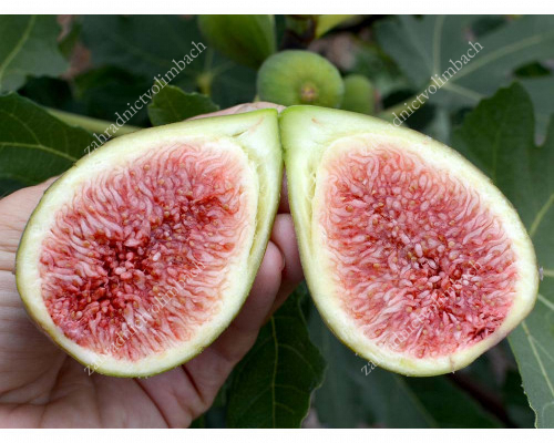 Fig Tree (Ficus carica) DALMATIE