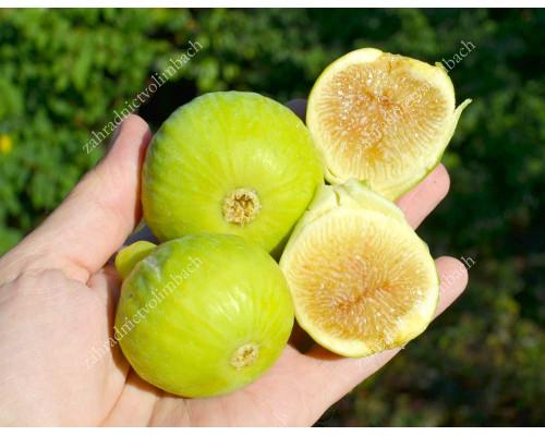 Figovník (Ficus carica) MARY LANE