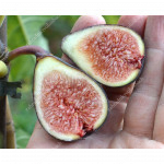 NEGRONNE (Ficus carica) Fig Tree