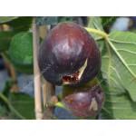 Fig Tree (Ficus carica) RONDE DE BORDEAUX