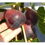 Fig Tree (Ficus carica) SULTANE