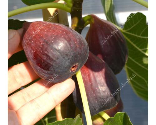 Figovník (Ficus carica) SULTANE