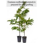Chinesische Kastanie (Castanea mollissima) Zweijähriger Sämling