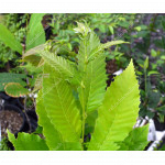 Chinese Chestnut (Castanea mollissima) two year old seedling