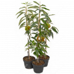 Sweet Chestnut Tree MARIGOULE