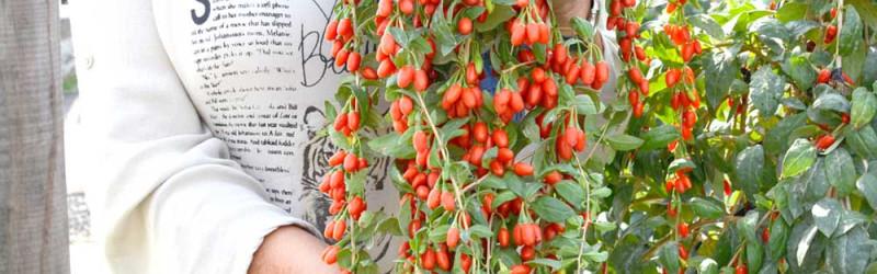 The best goji berry varieties