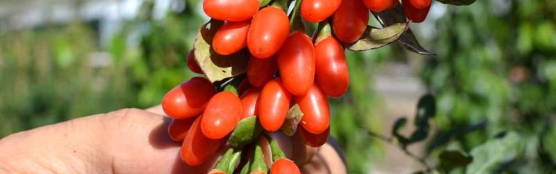 Goji - Queen of the Berries