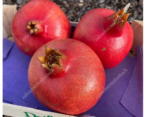 Pomegranate (Punica granatum) ACCO
