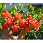 Granátové jablko (Punica granatum) Provence