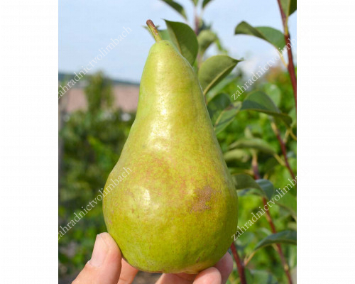 Pear CONCORDE - Columnar Tree