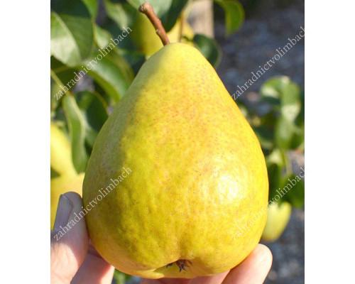 Pear CONDORA - Columnar Tree