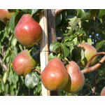 Pear (Pyrus communis) DECORA - Columnar Tree