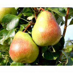 Pear (Pyrus communis) OBELISK - Columnar Tree