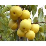 Nashi - Japanische Birne (Pyrus pyrifolia) SHINSEIKI
