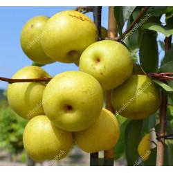 Nashi-Japanische Birne