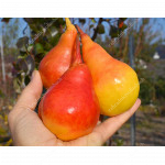 Pear SAXONIA™ THIMO®